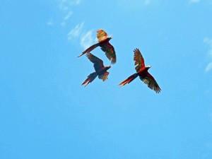 Aras im Carara Nationalpark an Costa Ricas Pazifikküste