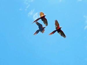 Hellrote Aras im Carara Nationalpark