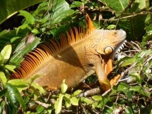 Ein Leguan streift durch die Wälder Costa Ricas