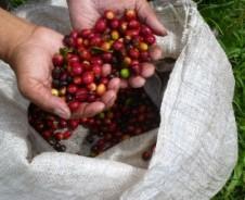 Durch die Kaffeefelder im Hochland von Boquete