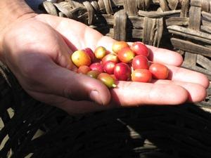 kaffeebohnen-matagalpa-nicaragua