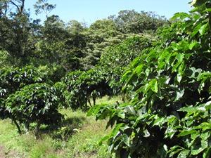 Kaffeeplantage bei Matagalpa