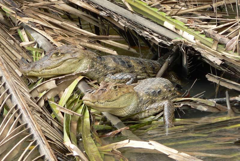Kaimane am Rio San Juan in Nicaragua