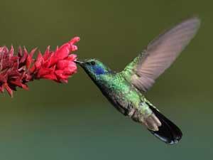 kolibri-boquete-panama