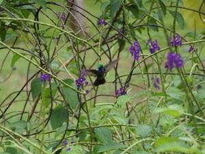 Ein Kolibri am Corcovado Nationalpark