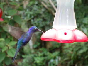 Bunte Kolibris in Nicaragua