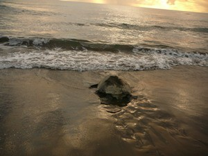 Eine Schildkröte auf dem Weg zurück ins Meer