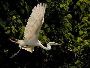 Imposante Vogelarten in Caño Negro