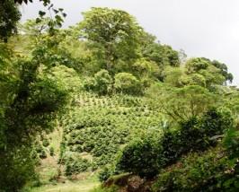 Überall wachsen Kaffeepflanzen