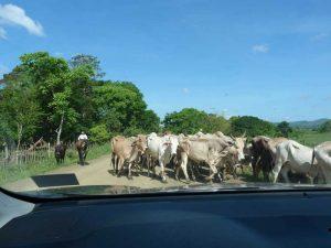 eine Viehherde überquert die Straße