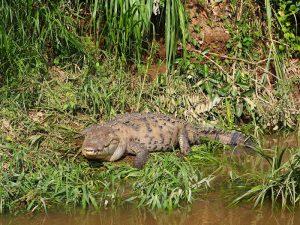 Krokodil am Rio San Carlos in Boca Tapada