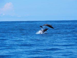 Delfine bei Uvita