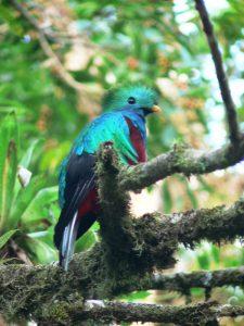 Quetzal im Nebelwald