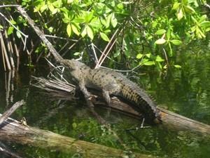 Krokodil auf dem Black River