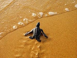 Während der Schildkröten auf Trinidad zu finden: Lederschildkröten