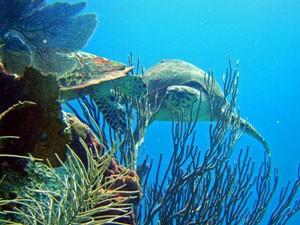 Schildkröten schwimmen neben einem Riff