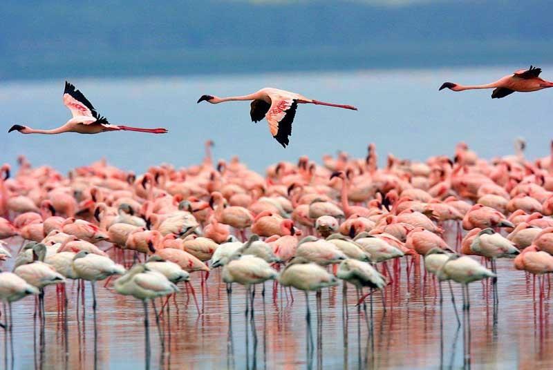 Vakantie Kenia - Lake Nakuru Flamingos