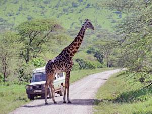 tanzania safari giraffe