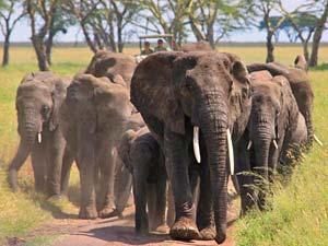 Tanzania safari olifanten