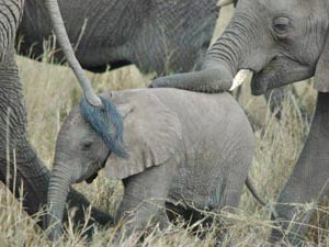 safari olifanten kenia tanzania