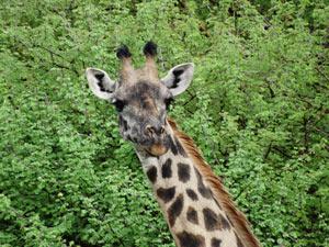 giraffe tanzania