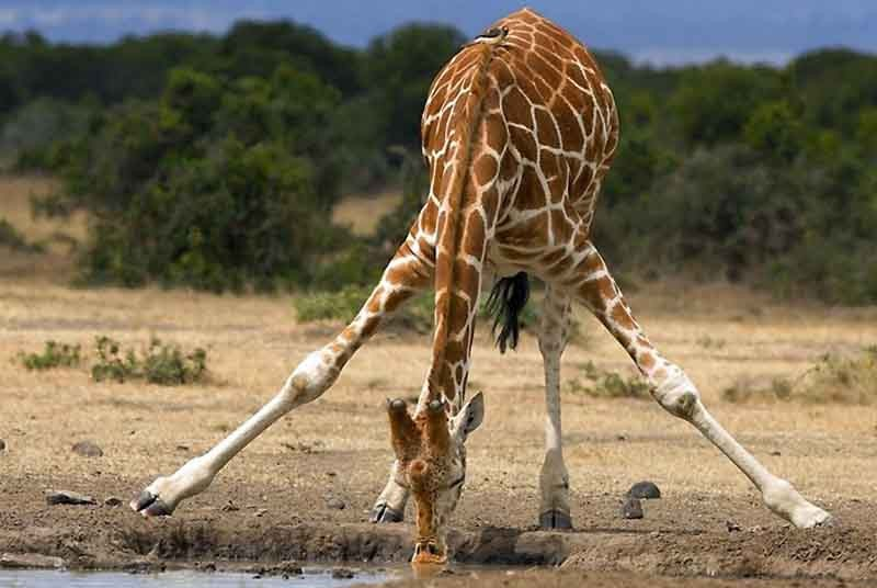 Tanzania vakantie - giraffe