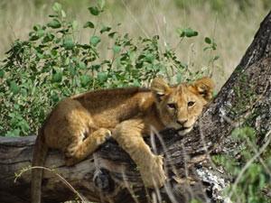 leeuwen welpje tanzania