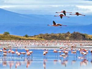 natron flamingos tanzania