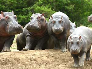 kenia safari amboseli hippo