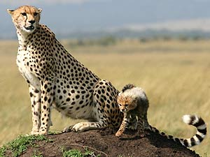 kenia safari cheetah