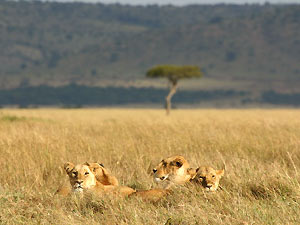 tanzania leeuwen serengeti