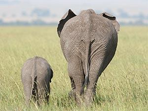Masai Mara safari olifantjes
