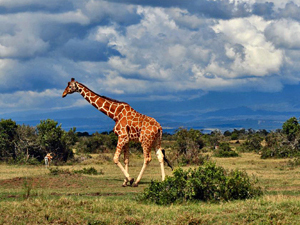 kenia samburu giraffe