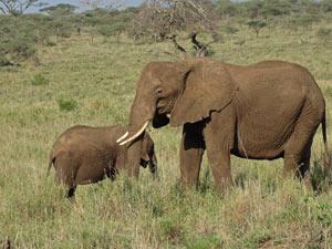 hoogtepunten Kenia Tanzania olifanten