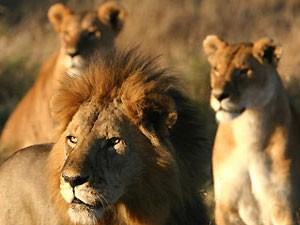 Serengeti Tanzania leeuwen