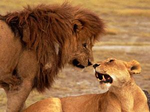 safari Serengeti - leeuwen