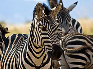 Tanzania safari reis - zebra