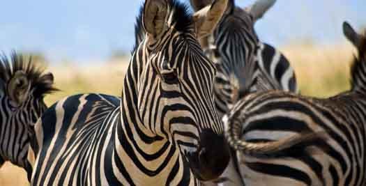 Safari Kenia rondreis