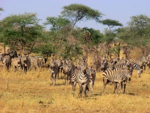 serengeti tanzania zebra's