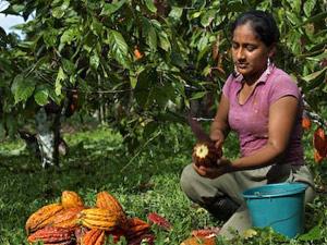 cacao plantage guayaquil ecuador