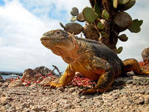 iguana galapagos ecuador