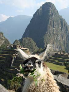 lama Peru Inca Trail