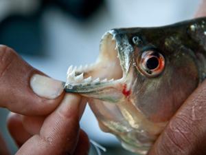 piranha vissen cyabena ecuador