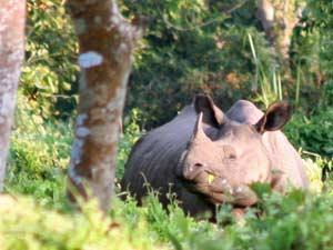 nepal reis neushoorn