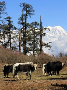 nepal reis yak