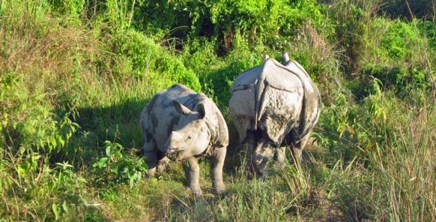 Nepal rondreis - chitwan-neushoorn