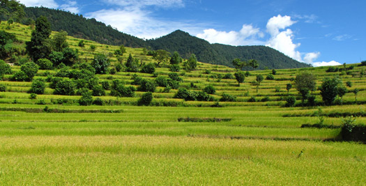 Rijstveld tijdens je Nepal trekking
