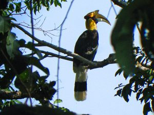Jungle Thailand - neushoornvogel