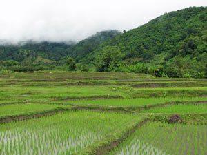 rijstveld-pai