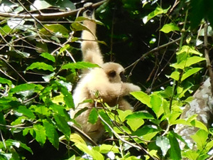 khao yai gibbon thailand